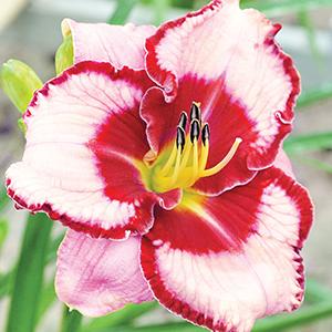 Daylilies G-L