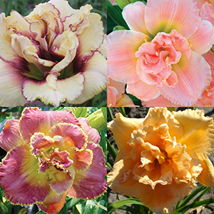 Daylily Collections