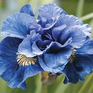 Siberian Iris A-G
