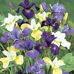 Siberian Iris Mixes