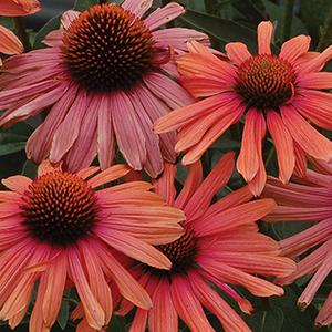 Perennials E-G