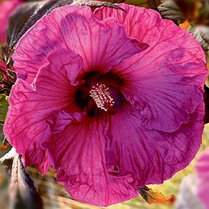 Perennials H-L