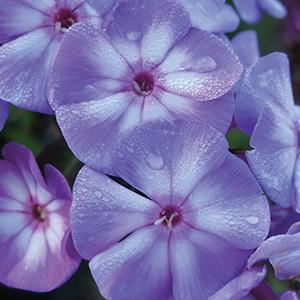 Perennials M-P