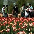 A tulip garden in Kashmir