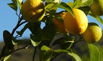 Citrus Pressed Oils