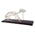 DOG SKELETON,EA