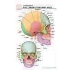 POSTER,POST IT,BODY SCI,HUMAN SKULL,EACH