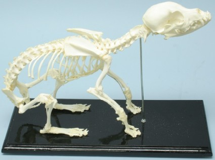 DOG SKELETON, UNMOUNTED,EA