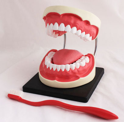 MODEL,ORAL HYGIENE (DENTAL),EA