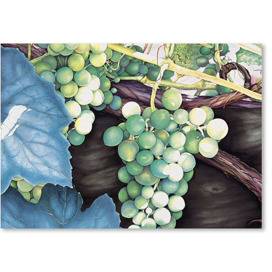Standard Medical Postcards - White Grapes
