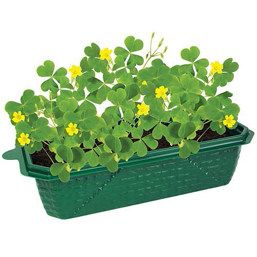 Grow Your Own Lucky Shamrocks