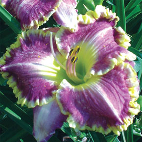 Best Seller Daylily