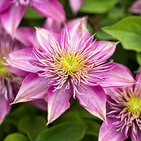Blushing Bridesmaid Clematis