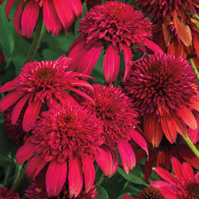 Double Scoop™ Cranberry Coneflower