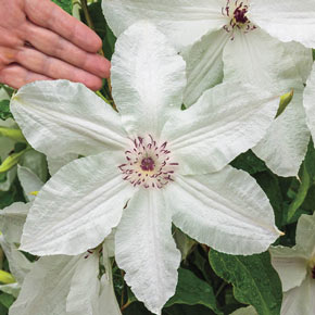Beautiful Bride Clematis