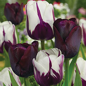 Blueberry Chocolate Tulip Blend