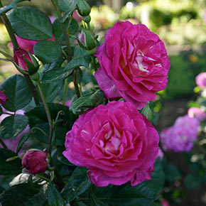 Outta the Blue™ Shrub Rose