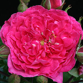Party Hardy™ Shrub Rose