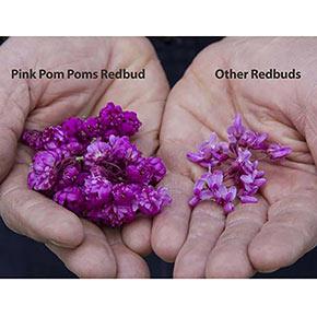 Pink Pom Poms Redbud