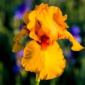 Disco Music Bearded German Iris