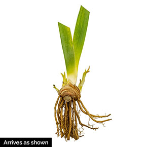 Harvest Of Memories Reblooming Bearded Iris