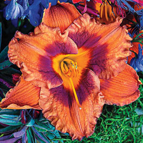 Mighty Chestnut Daylily