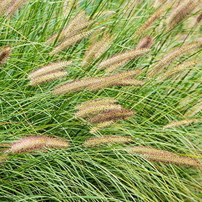 Fox Trot Fountain Grass