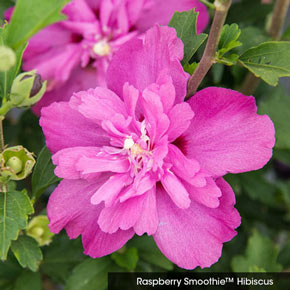Double Hardy Hibiscus Sampler Spring Hill Nurseries