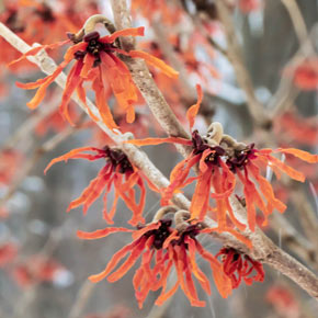 Diane Witch Hazel