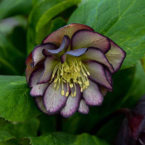Black Tie Affair Lenten Rose