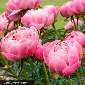 Award-Winning Peony Collection