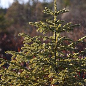Black Hills Spruce