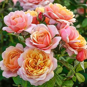 State of Grace™ Grandiflora Rose