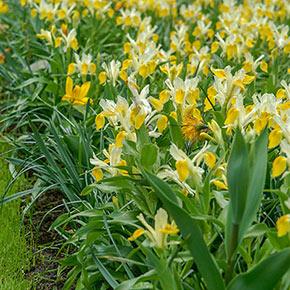 Bucharica Iris