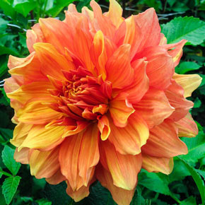 Mango Madness Dinnerplate Dahlia