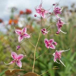 Pretty in Pink Epimedium