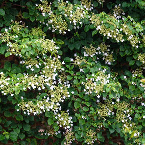 how to grow climbing hydrangea