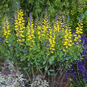Lemon Meringue Baptisia