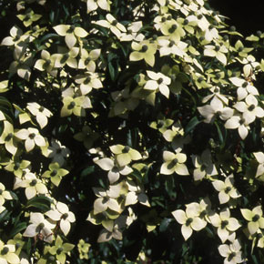 Empress Of China Evergreen Dogwood Trees Spring Hill