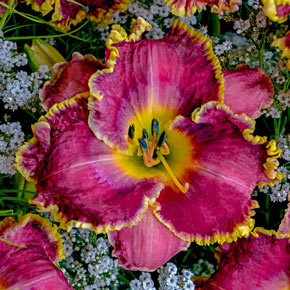 Raspberry Eclipse Daylily