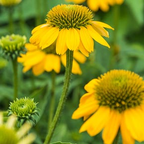 Sombrero<sup>®</sup> Lemon Yellow Coneflower