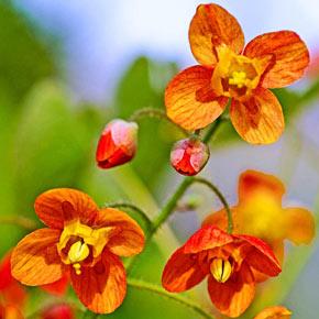 Orange Queen Epimedium