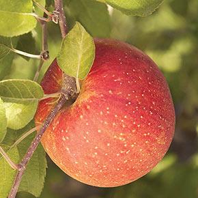 Fuji Apple Tree