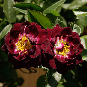 Diamond Eyes<sup>™</sup> Miniature Rose