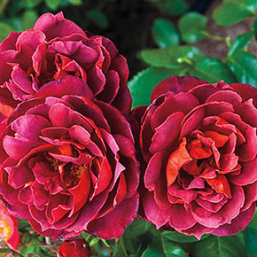 Hot Cocoa<sup>™</sup> Floribunda Rose
