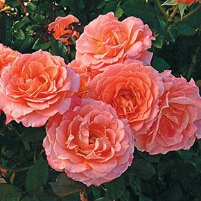 Jump For Joy™ Patio Tree Rose