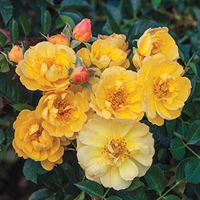 Sunshine Happy Trails™ Groundcover Rose