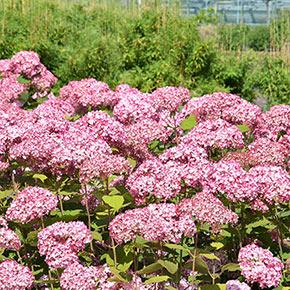 Pinkerella Hydrangea