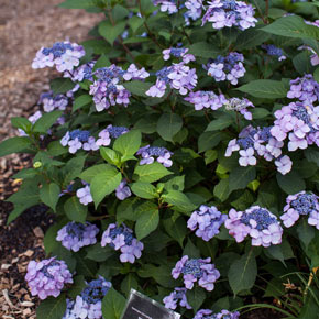 Lilacs hydrangeas other shrubs for sale at spring hill mightylinksfo
