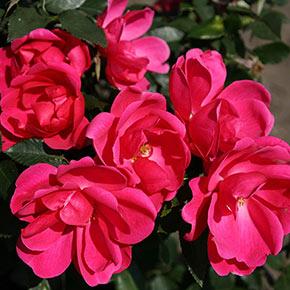 Flamingo Kolorscape® Rose